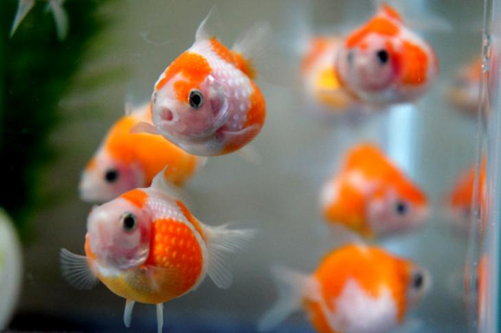 日本で人気の金魚の種類の名前と価格を10種類紹介!